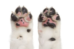 Dog paws. On a white background, isolated royalty free stock photo