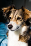 Dog is paying attention to something. Cute dog Royalty Free Stock Images