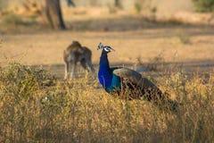 Dog and Peacock Stock Photos