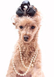 Dog In Pearls Royalty Free Stock Images