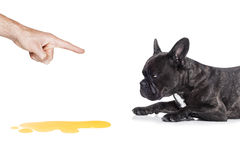 Dog pee. French bulldog dog being punished for urinate or pee at home by his owner, isolated on white background stock photography