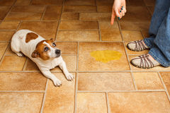 Dog pee lay scold. Jack Russell Terrier lying beside it's accident while being scolded stock image