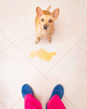 Dog pee owner at home Stock Images