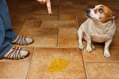 Dog pee scold Royalty Free Stock Images
