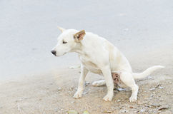 Dog pee Stock Image