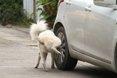 Dog Peeing On Wheel Stock Photo