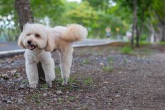 Dog Peeing standing, puppy dog, poodle terrier on park, Cute white poodle terrier, relax pet, poodle terrier mix