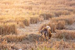 Dog peeing in the stubble field with natural sunlight.