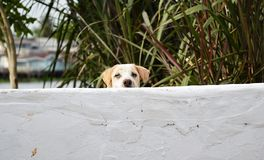 Dog peek behind white wall Royalty Free Stock Photos