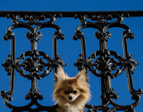 Dog peeking through balcony fence - French Quarter - New Orleans Royalty Free Stock Photos