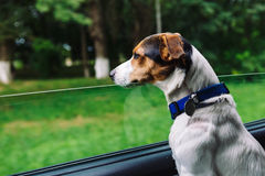 Dog peeking in from the open window of the car. Small dog breed Jack Russell Terrier looks out the open window of the bus. Closeup stock photo