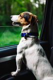 Dog peeking in from the open window of the car. Small dog breed Jack Russell Terrier looks out the open window of the bus. Closeup stock photography