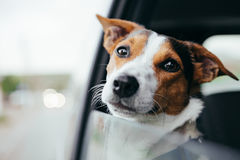 Dog peeking in from the open window of the car. Small dog breed Jack Russell Terrier looks out the open window of the car. Closeup stock image