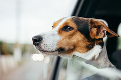 Dog peeking in from the open window of the car. Small dog breed Jack Russell Terrier looks out the open window of the car. Closeup royalty free stock image