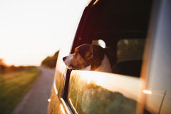 Dog peeking in from the open window of the car. Small dog breed Jack Russell Terrier looks to sunset from the open can window stock images