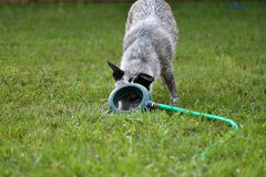 Dog Peeking Under Broken Sprinkler. Blue heeler peeking under and looking through broken sprinkler, funny, cute Stock Photo