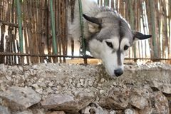 A dog peeks through the fence stock images