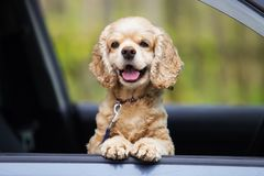 Dog peeks out of the car window Stock Images
