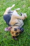 Dog peering Royalty Free Stock Image