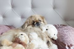 Dog Pekinese lies in bed with toys. Dog Pekinese lies in bed with your favorite toy sheep Stock Image