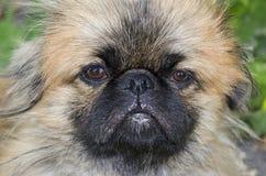Dog Pekingese Stock Photos