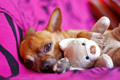 Dog and peluche Royalty Free Stock Photos