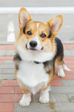 Dog Pembroke Welsh corgi smiling stock photos