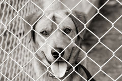 Dog in a pen. Dog looking out from behind the mesh of his pen. Warm toned black and white image stock photo