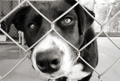 Dog in a pen. Homeless animals series. Sad dog looking out from behind the wire mesh of his pen. Black and white image royalty free stock image
