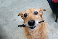 Dog with a pen in her mouth. Cute scruffy dog with a pen in her mouth royalty free stock photos