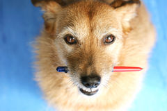 Dog with a pen looking up Stock Images