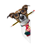 Dog with pencil at the office. Jack russell dog with pencil or pen in mouth wearing nerd glasses for work as a boss or secretary , isolated on white background stock photos