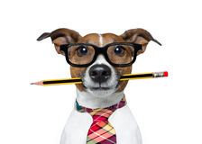 Dog with pencil at the office. Jack russell dog with pencil or pen in mouth wearing nerd glasses for work as a boss or secretary , isolated on white background royalty free stock photography