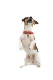 Dog performing a trick royalty free stock photography