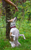 Dog performs command and sits on its hind legs Royalty Free Stock Images