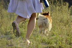 The dog performs the commands of the owner. Corgi pembroke. royalty free stock photography