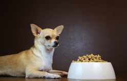Dog Perspective of a Food Bowl. Obedient dog is looking at the full bowl of food stock images