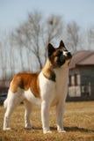 Dog pet Akita. A dog Akita side face royalty free stock photography