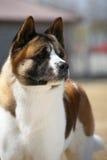 Dog pet Akita Dog. A dog Akita Dog Stand stock image