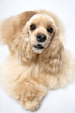 Dog pet American Cocker Spaniel Royalty Free Stock Images