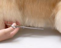 Dog pet American Cooker Spaniel. A dog trim abdomen .pet Stock Photos