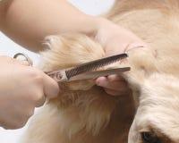 Dog pet American Cooker Spaniel. A dog trim ear department Stock Photo