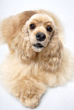Dog pet American Cooker Spaniel. In front of a white background dog Royalty Free Stock Images