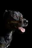Dog_Pet_Animal_Canian 库存照片