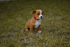 Free Dog, Pet, Animal, Puppy, Terrier, Cute, Jack Russell Terrier, Beagle, Canine, Grass, White, Brown, Jack, Russell, Jack Russell, Br Stock Image - 113741291