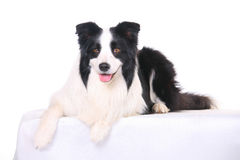 Dog pet Border Collie royalty free stock photography