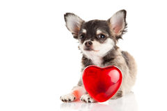 Dog pet chihuahua isolated on white background Stock Photos
