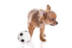 Dog pet chihuahua isolated on white background Stock Photo
