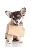 Dog pet chihuahua isolated on white background Royalty Free Stock Photo
