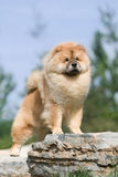 Dog pet chow chow Royalty Free Stock Photos
